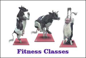 Fitness Classes - Cows doing Yoga