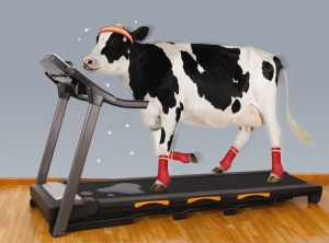 cow-treadmill-final